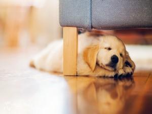 Cachorro durmiendo bajo el sofá