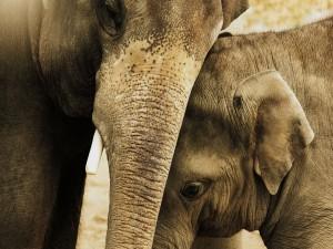 Pequeño elefante junto a su mamá