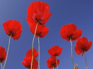 Amapolas rojas bajo un cielo límpido