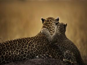 Leopardo con su cachorro