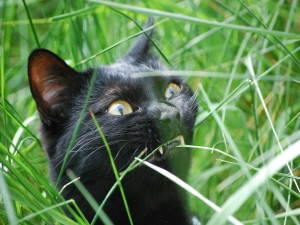 Gato negro masticando una brizna de hierba