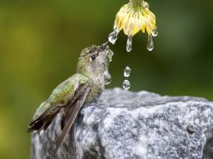 Colibrí sobre una roca bebiendo el agua de una flor