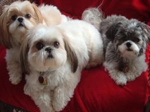 Adorables cachorros descansando en un sofá rojo