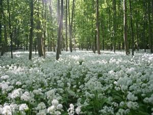 Bosque cubierto de flores blancas
