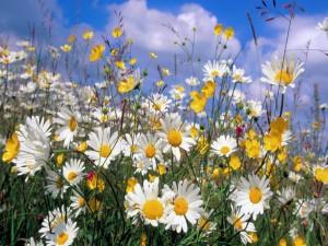 Bellas flores silvestres y margaritas