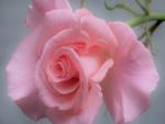 La belleza de una rosa color rosa
