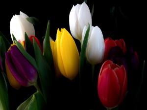 Espléndidos y coloridos tulipanes