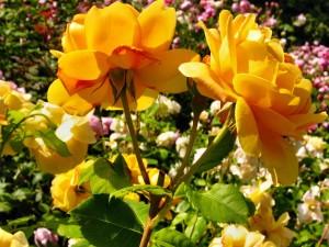 Rosas amarillas en el jardín