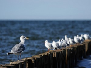 Gaviotas posadas junto al mar