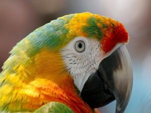 Colorida cabeza de un guacamayo