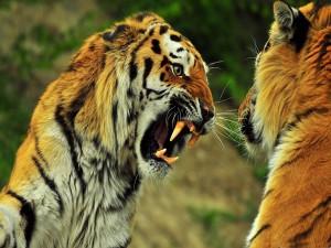 Tigres peleando