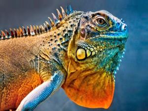 Iguana vista de cerca