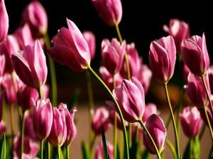 Hermosos tulipanes rosas iluminados por el sol