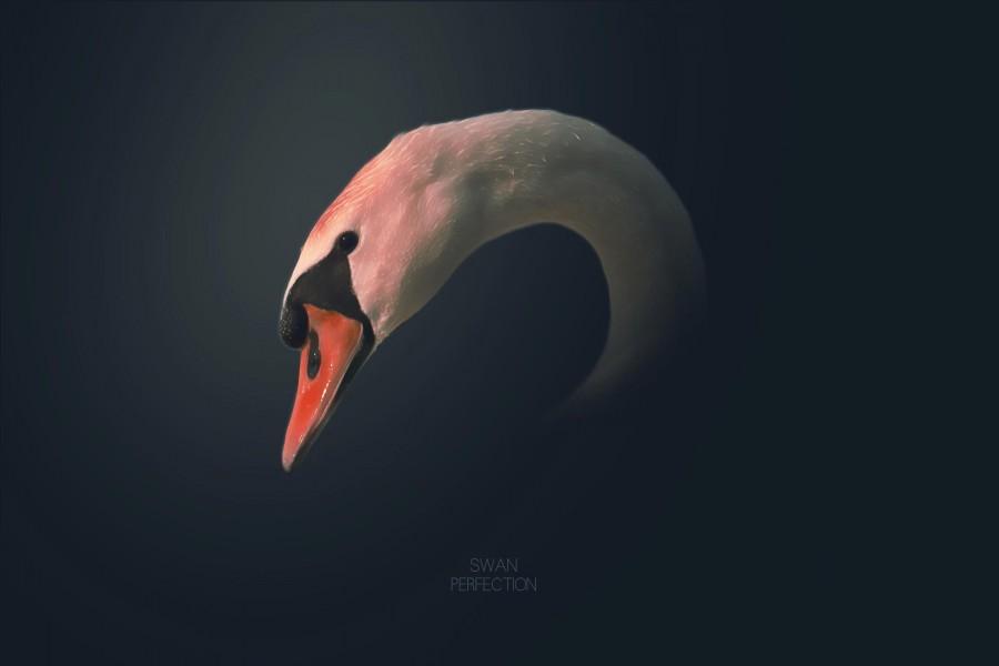 La cabeza de un cisne