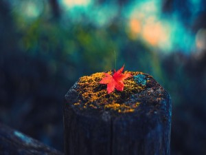 Hoja roja sobre un tronco