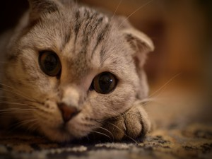 La linda cara de un gato