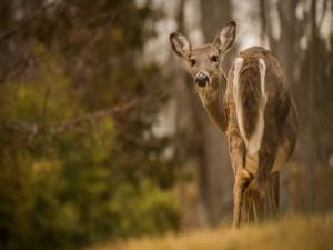 La mirada del ciervo