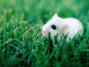 Un hámster blanco sobre la hierba