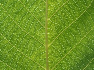 Las venas de una hoja verde