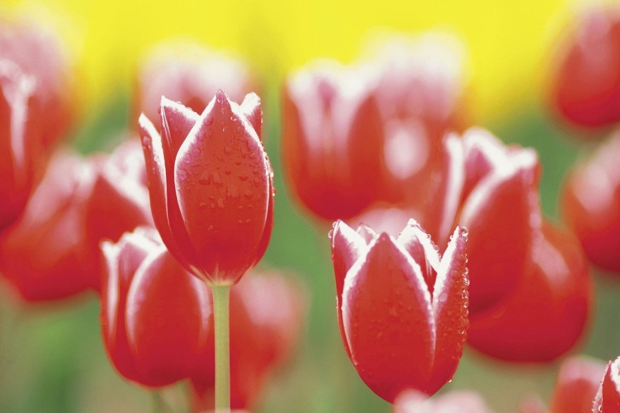 Gotas de agua sobre unos tulipanes