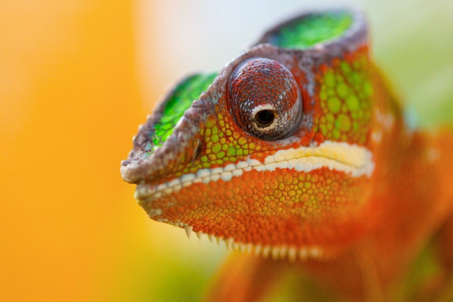 La cabeza de un camaleón