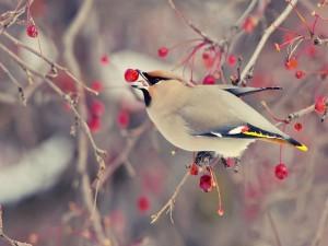 Pájaro comiendo una baya