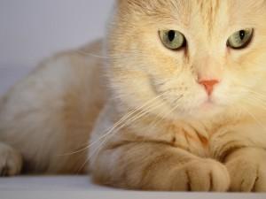 La cara de un gran gato