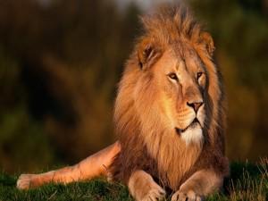 Gran león descansando sobre la hierba