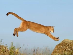 Puma saltando de una roca a otra