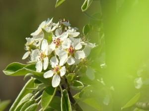 Bello rama con flores blancas