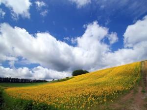 Campo con girasoles en floración