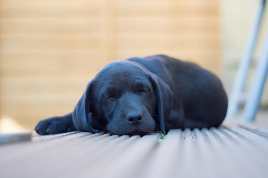 Cachorro negro dormido