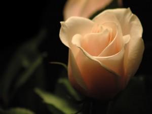 Una delicada rosa