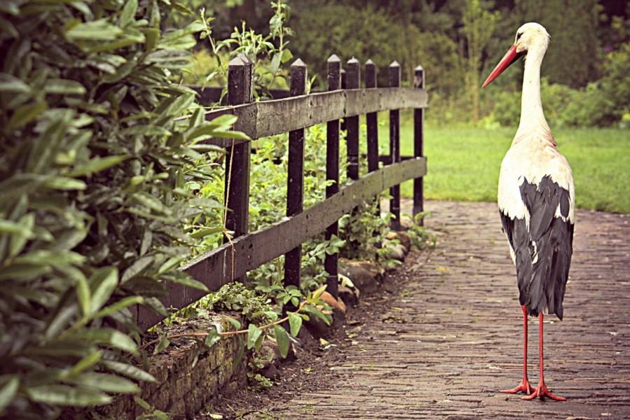 Cigüeña caminando junto a una valla de madera
