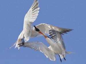 Aves peleando en el aire