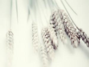 Espigas de trigo sobre una mesa