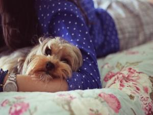 Jorky tumbado en la cama