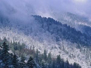 Niebla sobre los pinos nevados