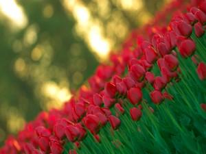 Tulipanes rojos en un jardín