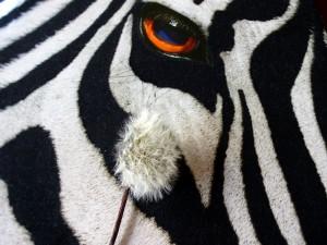 Diente de león junto al ojo de una cebra