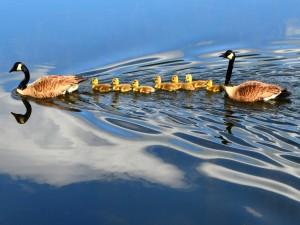 Una familia de patos nadando en un lago
