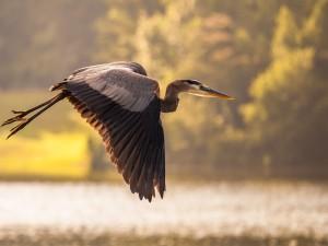 Una garza volando