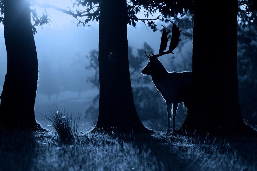 Un ciervo en la oscuridad del bosque