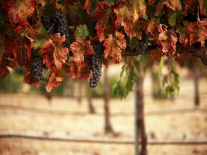 Una vid repleta de uvas negras en otoño