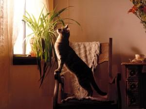 Gato sobre una silla intentando ver por la ventana