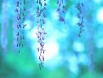 Flores lila de wisteria japonesa