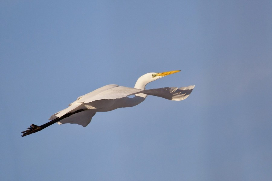 Garza volando