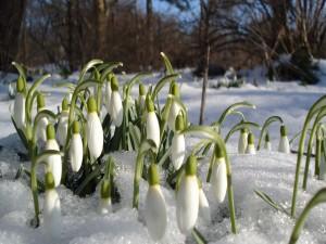 Campanillas de invierno en la nieve