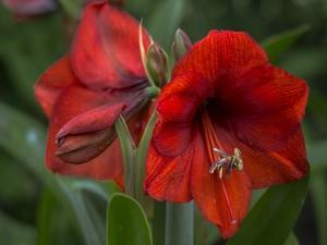 Sensacionales flores color rojo con sus hojas