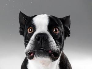 Bulldog francés con cara de sorpresa